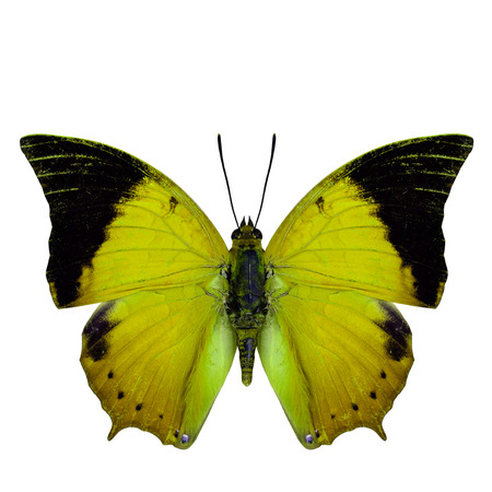 rajah: Beautiful yellow butterfly, the Scarce Tawny Rajah in fancy color profile isolated on white background