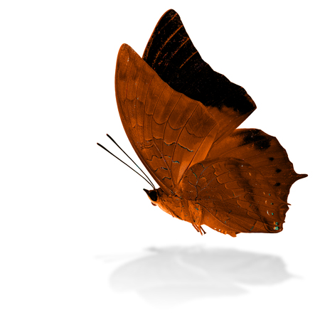 rajah: Beautiful flying orange butterfly, the Scarce Tawny Rajah in fancy color profile on white background with grey shadow reflection