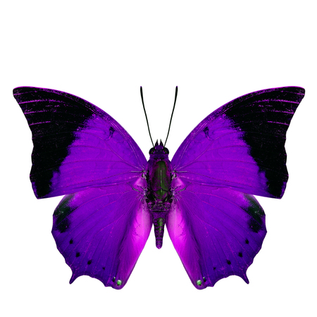 rajah: Beautiful purple butterfly, the Scarce Tawny Rajah in fancy color profile isolated on white background