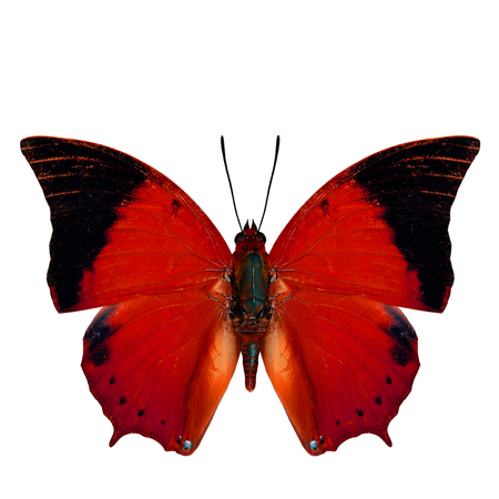 rajah: Beautiful red butterfly, the Scarce Tawny Rajah in fancy color profile isolated on white background