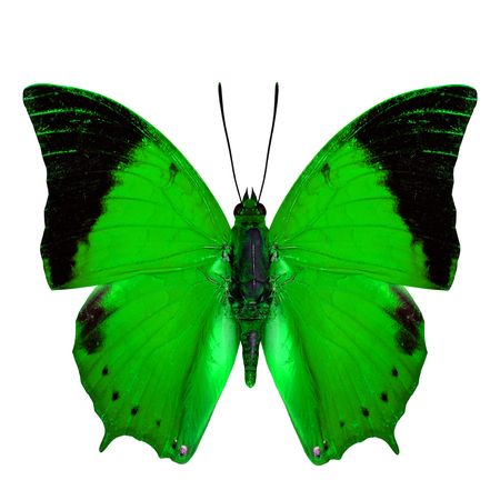 rajah: Beautiful Green Butterfly, the Scarce Tawny Rajah Butterfly (Charaxes aristogiton) in fancy color profile isolated on white background