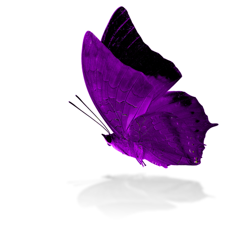 rajah: Beautiful flying purple butterfly, the Scarce Tawny Rajah in fancy color profile on white background with grey shadow reflection