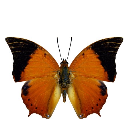 wing span: Scarce Tawny Rajah Butterfly (Charaxes aristogiton) the beautiful orange with black wing tips butterfly in natural color profile isolated on white background