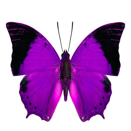 rajah: Purple Butterfly, the Scarce Tawny Rajah Butterfly (Charaxes aristogiton) in fancy color profile isolated on white background Stock Photo