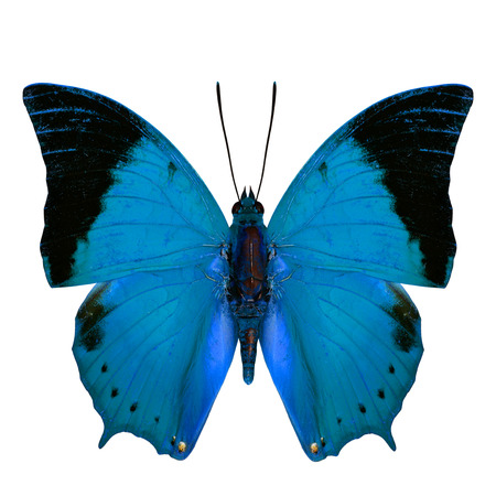 rajah: Beautiful Pale Blue Butterfly, the Scarce Tawny Rajah Butterfly (Charaxes aristogiton) in fancy color profile isolated on white background