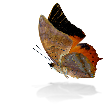 wing span: Beautiful flying Scarce Tawny Rajah Butterfly (Charaxes aristogiton) the orange butterfly in natural color profile on white background with grey shadow reflection Stock Photo