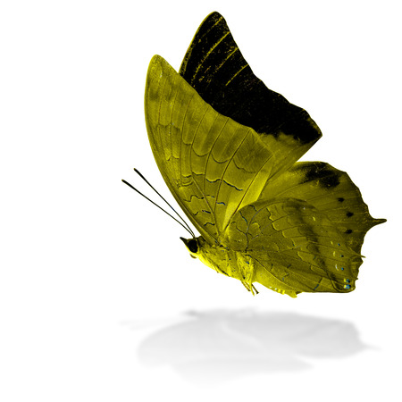 rajah: Beautiful flying yellow butterfly, the Scarce Tawny Rajah in fancy color profile on white background with grey shadow reflection