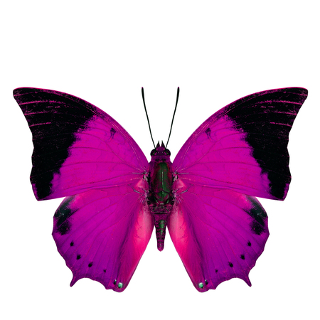 tawny: Beautiful pink butterfly, the Scarce Tawny Rajah in fancy color profile isolated on white background