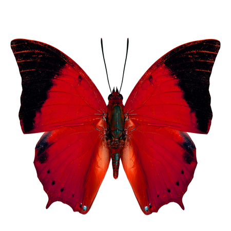 wing span: Red butterfly, the Scarce Tawny Rajah Butterfly (Charaxes aristogiton) in fancy color transparency profile isolated on white background Stock Photo
