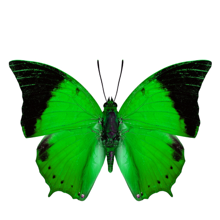 rajah: Beautiful bright green butterfly, the Scarce Tawny Rajah in fancy color profile isolated on white background