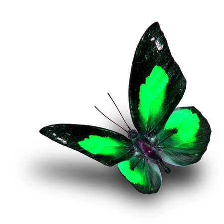 fascinate: Beautiful flying green butterfly, the Bright Sunbeam or Malayan Sunbeam butterfly in fancy color with shadow beneath on white background
