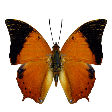 wingtips: Scarce Tawny Rajah Butterfly (Charaxes aristogiton) the beautiful orange with black wingtips butterfly in natural color profile isolated on white background