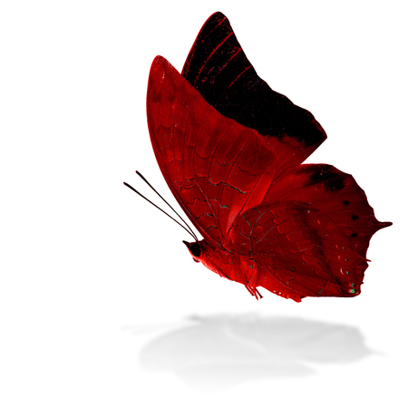 rajah: Beautiful flying red butterfly, the Scarce Tawny Rajah in fancy color profile on white background with grey shadow reflection