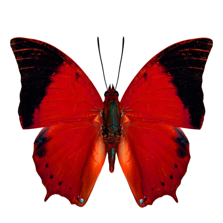 rajah: Red Butterfly, the Scarce Tawny Rajah Butterfly (Charaxes aristogiton) in fancy color profile isolated on white background
