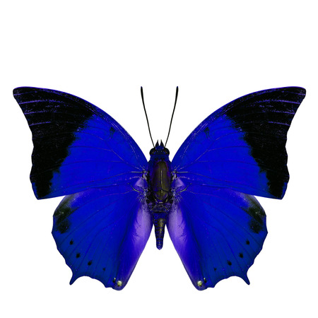tawny: Beautiful blue butterfly, the Scarce Tawny Rajah in fancy color profile isolated on white background Stock Photo