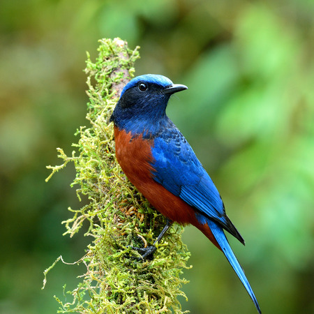 chestnut male: Male of Chestnut-bellied Rock Thrush (Monticola rufiventris) the beautiful velvet blue and chestnut belly bird perching on the mossy branch