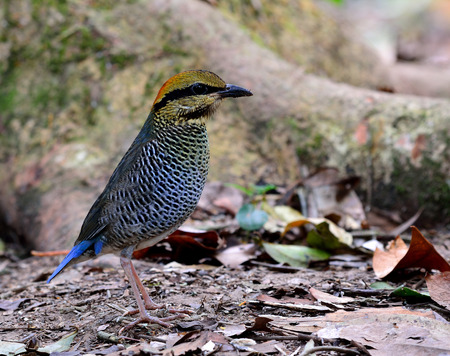 messed: Female of Blue Pitta (Hydrornis cyaneus) the beautiful grey and pale blue bird standing on the messed ground near by big tree roots