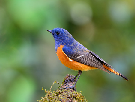 Male of Blue-fronted redstart (Phoenicurus frontalis) the colorful blue and orange bird perching on the mossy branch on nice green blur background Imagens