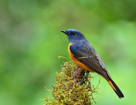 ornage: Male of Blue-fronted redstart (Phoenicurus frontalis) the colorful blue bird with ornage belly perching on the mossy branch on blur green background