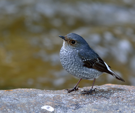 fascinate: Beautiful bird, Female of plumbeous water redstart (Rhyacornis fuliginosa) the lovely chabby grey bird standing on the rock showing chest feathers in the stream