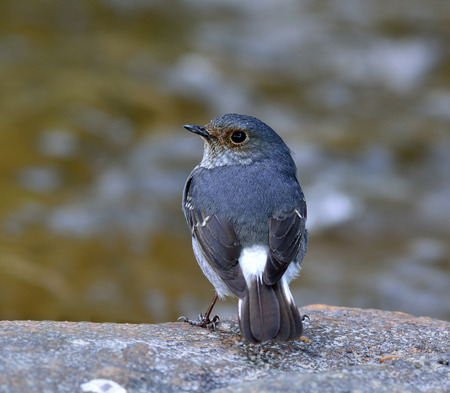 chabby: Beautiful bird, Female of plumbeous water redstart (Rhyacornis fuliginosa) the lovely chabby grey bird standing on the rock showing its back feathers