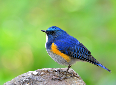 Himalayan Bluetail (tarsiger rufilatus) the beautiful chubby blue bird standing on the rock ground with fine green blur background, an exotic nature