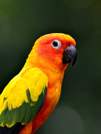 wil: Close up of Sun Cornure, the beautiful yellow parrot bird with very great in details