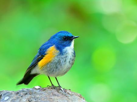 animal eye: Male of Himalayan Bluetail (tarsiger rufilatus) the beautiful chubby  blue bird standing on the wooden floor with green blur background, an exotic nature Stock Photo