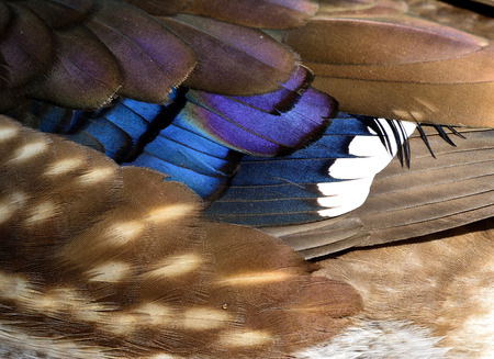 aix galericulata: Colorful background and texture of Mandarin duck (aix galericulata) feathers, exotic nature texture