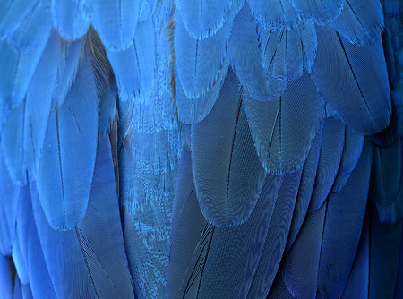 ararauna: An exotic blue background, feathers of the blue-and-yellow macaw (Ara ararauna) in close up Stock Photo