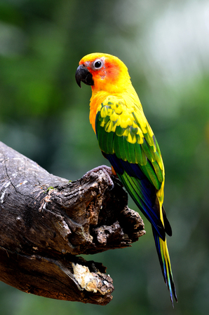 wil: Sun parakeet or sun conure (Aratinga solstitialis) the lovely yellow with green and blue parrot bird perching on the log with bright back light