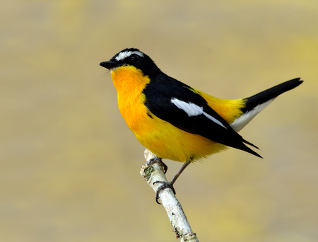 wagging: Male of Yellow-rumped flycatcher, Korean flycatcher or tricolor flycatcher (Ficedula zanthopygia) the beautiful yellow bird wagging it tail