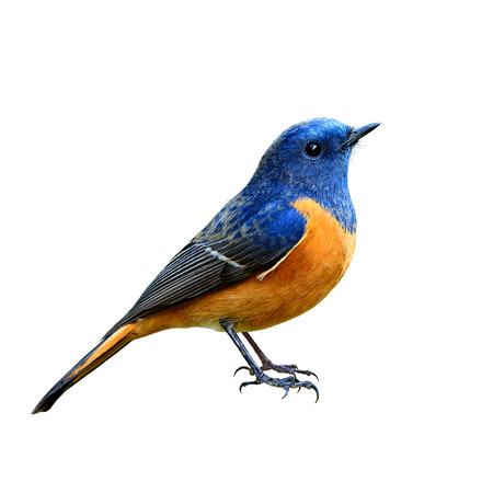 青いガラス張り Redstart (Phoenicurus 前頭) の分離の白い背景を末尾に頭からすべての詳細を完全に立っている美しい青とオレンジ色の腹鳥