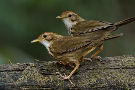 fascinate: Sweet pair of Puff-throated Babbler (Pellorneum ruficeps) the lovely brown birds standing together on the log with nice green blur background