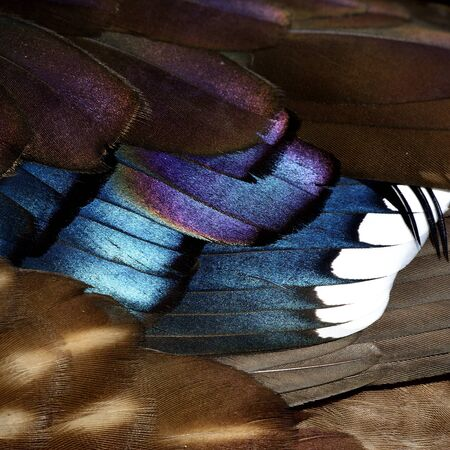 aix galericulata: Colorful background of Mandarin duck (aix galericulata) feathers, fantastic nature texture Stock Photo
