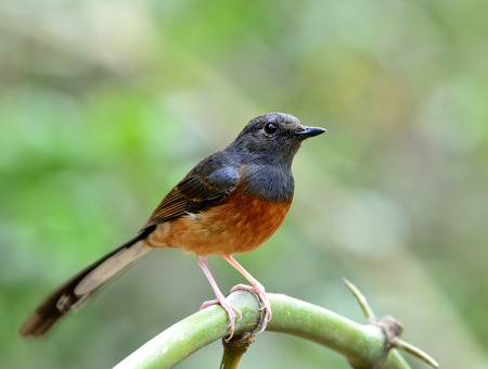 white tail: White-rumped shama (Copsychus malabaricus) the beautiful orange chest, long white tail and black head perching in peace on the bamboo branch