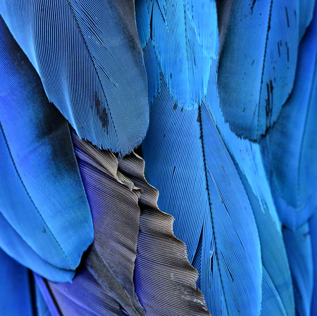 ararauna: Beautiful blue background, feathers of the blue-and-yellow macaw (Ara ararauna) in close up