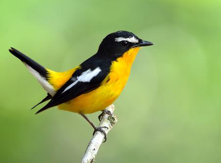 wagging: Yellow-rumped flycatcher (Ficedula zanthopygia) the beautiful yellow bird wagging its tail, exotic nature