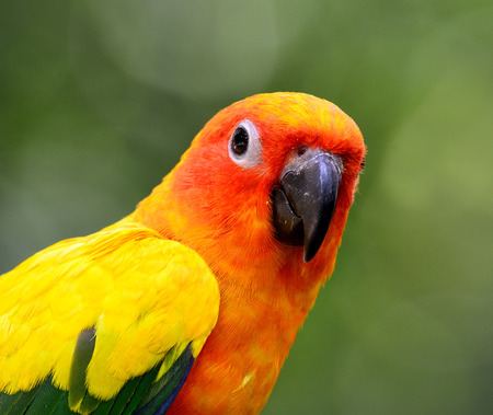 wil: Close up of Sun parakeet or sun conure (Aratinga solstitialis) the lovely yellow with green and blue parrot bird