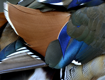 aix galericulata: Colorful of brown black and blue background and texture of Mandarin duck (aix galericulata) feathers, exotic nature texture