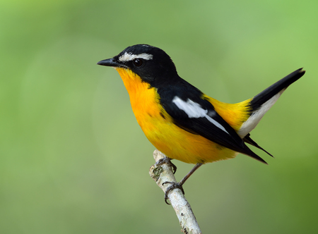 wagging: Male of Yellow-rumped flycatcher (Ficedula zanthopygia) the beautiful yellow bird wagging its tail on green blur background, exotic nature