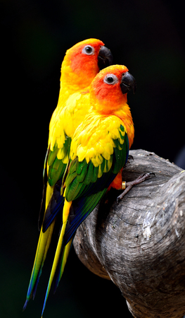 wil: Sweet pair of Sun parakeet or sun conure (Aratinga solstitialis) the lovely yellow with green and blue parrots perching on the log together