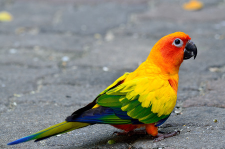 wil: Sun parakeet or sun conure (Aratinga solstitialis) the lovely yellow with green and blue feathers parrot bird standing on the ground