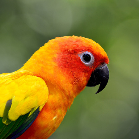 wil: Head shot of Sun parakeet or sun conure (Aratinga solstitialis) the lovely yellow with green and blue parrot bird