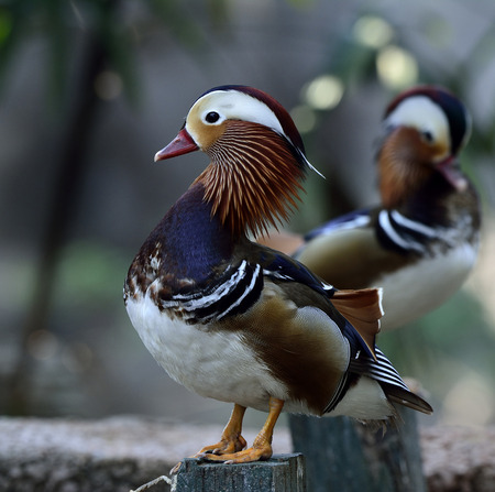 aix galericulata: Amazing Mandarin duck (aix galericulata) the fantastic animal standing on the pole with high neck up and other duck behind Stock Photo
