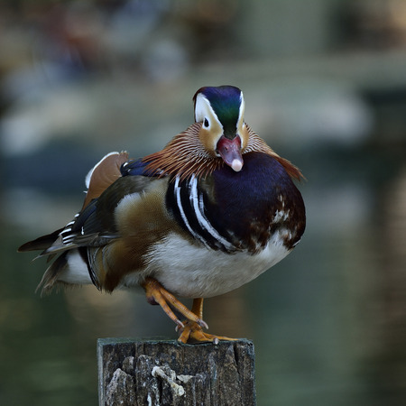aix galericulata: Amazing Mandarin duck (aix galericulata) the fantastic animal standing with its single leg on the pole Stock Photo