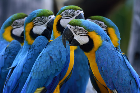 avian: Group of Blue-and-yellow macaws (Ara ararauna) the beautiful blue parrot birds sitting together Stock Photo