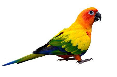wil: Sun parakeet or sun conure (Aratinga solstitialis) the lovely yellow with green and blue feathers parrot bird standing on the ground isolated on white background Stock Photo