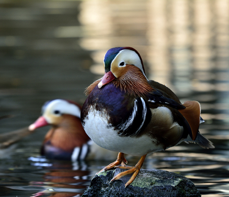aix galericulata: Amazing Mandarin duck (aix galericulata) the fantastic animal sitting on the rock with other duck in the stream behind Stock Photo