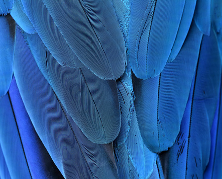 ararauna: The beautiful texture of blue-and-yellow macaw feathers (Ara ararauna) in close up